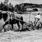 1952 Enok Nikkinen niittokoneella Hely-hevosen kanssa
